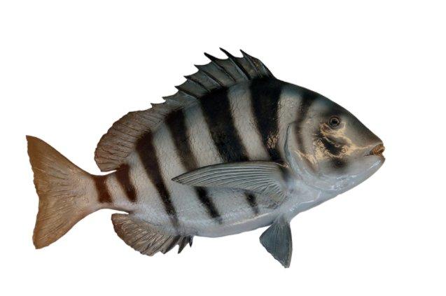 Sheepshead Fish Detail and Facts.jpg