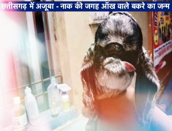 छत्तीसगढ़ में अजूबा – नाक की जगह आँख वाले बकरे का जन्म, अनोखे बकरे को देखने के लिए लगी भीड़ : Hindi News
