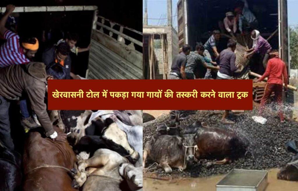Maihar News Smuggling of cows at Kherwasani toll by Truck - Satna News